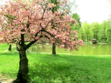 Sakura near the lake in the park of the palace of Counts Sch?nborn / Alexandra Mulla