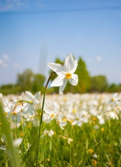 Narcissuses and 7 pearls of Transcarpathia