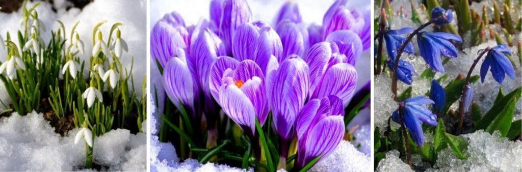 Топ-5 чарівних весняних першоцвітів: де і коли побачити цвітіння?
